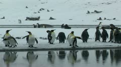 South Georgia: king penguin crowd 10 Stock Footage