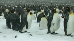 South Georgia: king penguin crowd 13 Stock Footage