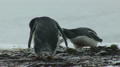South Georgia: penguin making a nest 2 Stock Footage