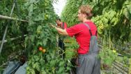 Farmers picking tomato in a greenhouse Stock Footage