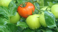Stock Video Footage of Tomato in a greenhouse