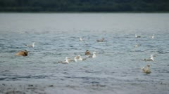Sealions seagulls and salmon Valdez P HD 7446 Stock Footage
