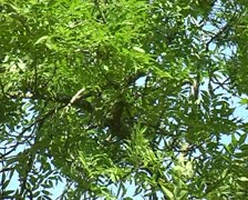 Popular Tree blowing in the wind with leaves blue sky UK SD Stock Footage