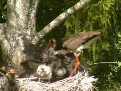 Black stork  brood nest Stock Footage