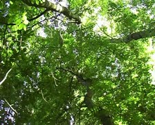 Looking up at canopy of trees in summer time SD Stock Footage