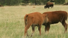 Two Buffalo calves buddy up Stock Footage