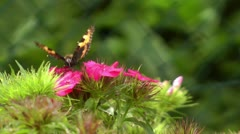Butterfly sucking nectar closeup 8/16 Stock Footage