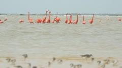 Pink flamingos mexico wildlife Stock Footage