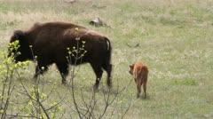 Buffalo calf follows mother Stock Footage