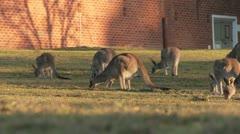 Kangaroo12 Stock Footage