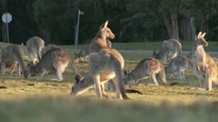 Kangaroo12 Stock Footage