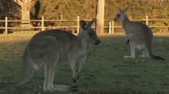 Kangaroo 18 Stock Footage
