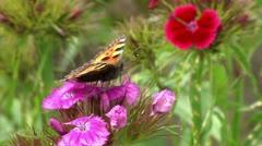 Aglais urticae sucking nectar closeup 3/16 Stock Footage