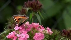 Butterfly sucking nectar closeup 1/16 Stock Footage