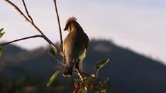 Cedar-waxwing, bird Stock Footage