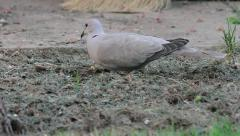Collared dove searching for food, Streptopelia decaocto Stock Footage