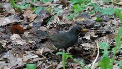 Angry Blackbird, Turdus merula - stock footage