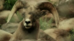Large Mountain Goat - stock footage