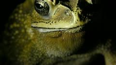 Stock footage toad, hoptoad, anuran, croaks - stock footage