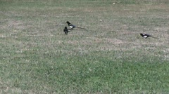 Yellow billed magpie Stock Footage