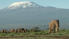 A bull elephant leads a group of elephants from kilimanjaro Stock Footage