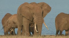 Elephant bull moving away from a group Stock Footage