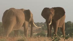 Elephants bulls fighting in the plains 3 Stock Footage