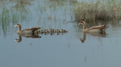 geese with small chicks and reflection - stock footage