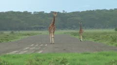 giraffes on a small airstrip - stock footage