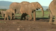 Two small baby elephants stay together during migration of elephants. Stock Footage