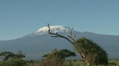 Zoom in of kilimanjaro with egyptian geese Stock Footage