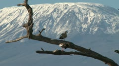 Zoom out of egyptian geese with kilimanjaro in the background Stock Footage