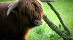 itching, scratching, cattle irish highland kyole in 1080p - stock footage