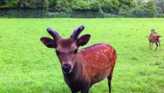 Bambi, whitetail deer in 1080p Stock Footage