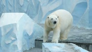Stock Video Footage of polar bear in zoo