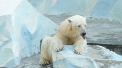Yawning polar bear in zoo Stock Footage