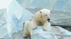 yawning polar bear in zoo - stock footage
