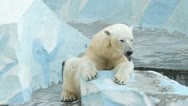 Stock Video Footage of yawning polar bear in zoo