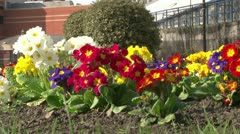 Pansies Stock Footage