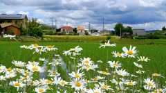Marguerites with rice field in the background Stock Footage