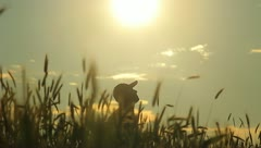 The man in the cereal field (sunny weather) - stock footage