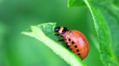 Potato Beetle Larva Stock Footage