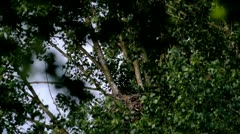 White-tailed Eagle - stock footage
