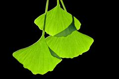 Ginkgo leaves, computer artwork Stock Illustration