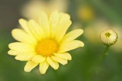 marguerite daisy - stock photo