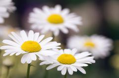 Shasta daisy (leucanthemum 'filigran') Stock Photos