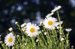 Leucanthemum x superbum 'snow daisy' Stock Photos