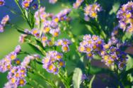 Stock Photo of tatarian aster (aster tataricus 'jindai')