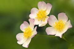 Lyda rose (rosa sp.) Stock Photos