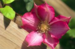 Clematis flower (clematis sp.) Stock Photos